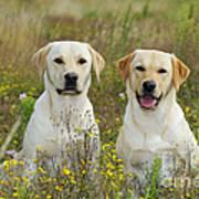 Labrador Retriever Dogs Art Print