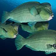 Large School Of Bumphead Parrotfish Art Print