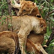 Lion Cubs On The Masai Mara  Art Print