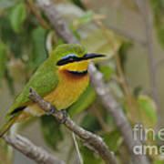 Little Bee-eater Art Print