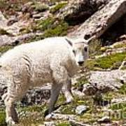 Mountain Goat Kid On Mount Evans Art Print