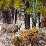 Mule Deer Art Print