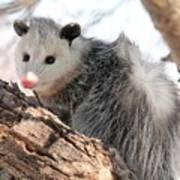 North American Opossum In Winter Art Print