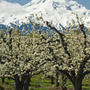 Orchard And Mount Hood, Oregon Art Print
