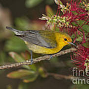 Prothonotary Warbler Art Print