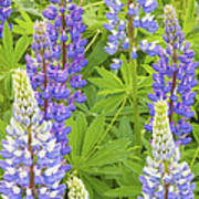 Purple Lupine Flowers Art Print