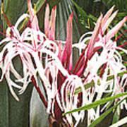 Queen Emma Crinum Lilies Art Print