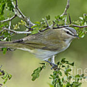 Red-eyed Vireo Art Print