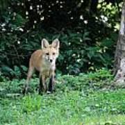 Red Fox Kit Art Print