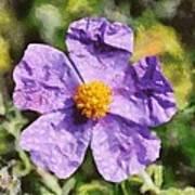 Rockrose Flower Art Print