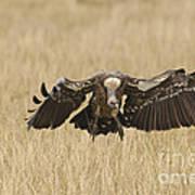 Ruppells Vulture Art Print