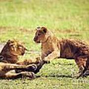 Small Lion Cubs Playing. Tanzania Art Print