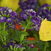 Sulphur Butterfly In The Phoebis Family Art Print