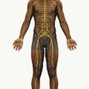 The Nerves Of The Body Art Print