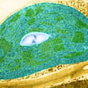 Tomato Chloroplast, Tem Art Print