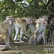 Toque Macaques Art Print