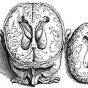 Vesalius: Brain, 1543 Art Print