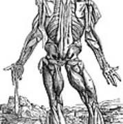 Vesalius: Muscles, 1543 Art Print