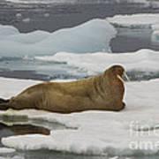 Walrus Resting On Ice Floe Art Print