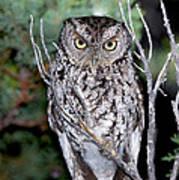 Whiskered Screech Owl Art Print