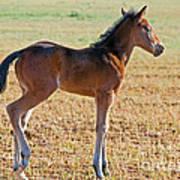Wild Horse Foal Art Print