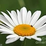 Wildflower Named Oxeye Daisy Art Print