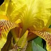 Yellow Iris Art Print