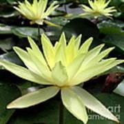 3 Yellow Lotus Art Print