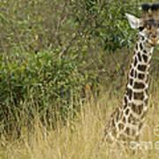 Young Giraffe In Kenya Art Print