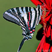 Zebra Swallowtail Butterfly Art Print
