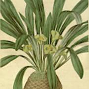 Botanical Print Or English Natural History Illustration Art Print