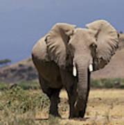 Elephant Dafrique Loxodonta Africana Art Print