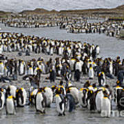 King Penguins Art Print
