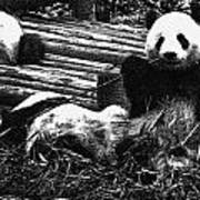 3722-panda -  Advanced Pencil Sketch Art Print