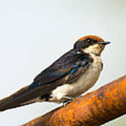 A Wire-tailed Swallow Perching Art Print