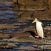 Adult Nz Yellow-eyed Penguin Or Hoiho On Shore Art Print