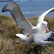 Albatros Royal Diomedea Epomophora Art Print