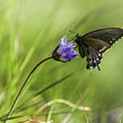 Pipevine Swallowtail Butterfly Art Print