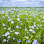 Blooming Flax Field Art Print