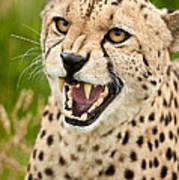 Cheetah Acinonyx Jubatus Big Cat  Art Print