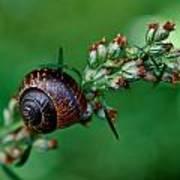 Copse Snail Art Print