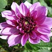 Dahlia Named Blue Bell Art Print