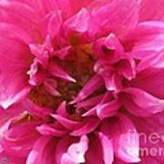 Dahlia Named Pretty In Pink Art Print