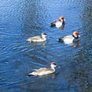 4 Duck Pond Art Print
