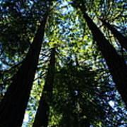 Giant Redwoods Art Print