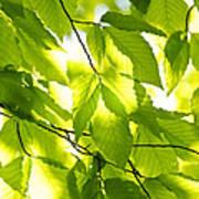 Green Spring Leaves Art Print by Elena Elisseeva
