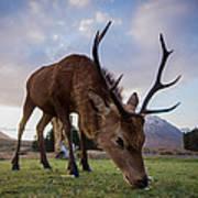 Highland Deer Art Print