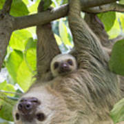 Hoffmanns Two-toed Sloth And Old Baby Art Print