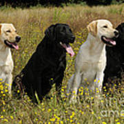 Labrador Retriever Dogs Art Print