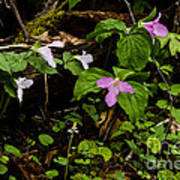 Large Flowered Trillium  Art Print